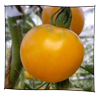 tomate_reine_or